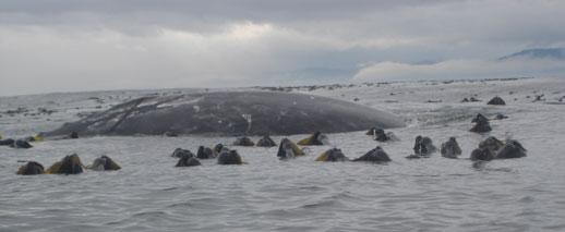 Grey Whale, Strait of Juan de Fuca