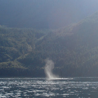Killer whales approaching in Johnstone Strait