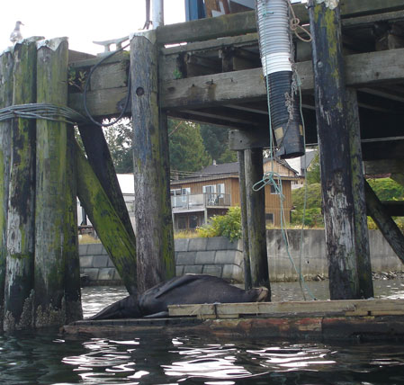 The world's laziest sea lion, Ucluelet